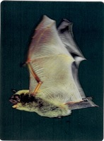 3D Postcard Little Brown Bat